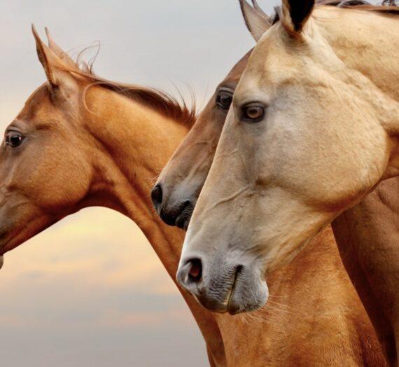Adfærd: Se en lille film om en særlig og smuk hest der hjælper sit menneske ved at være et problem